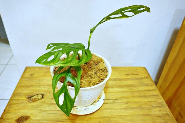 tanaman hias janda bolong